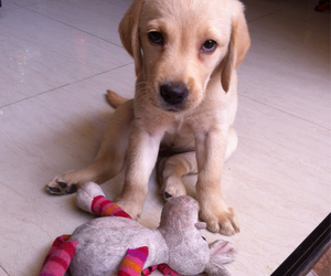 labrador, cute, and puppy image