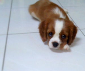adorable, puppy, and cavalier image