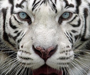 tiger, animal, and blue eyes image