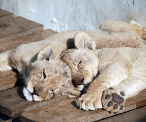 adorable, animals, and baby lion image