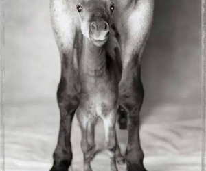 adorable, foal, and black and white image