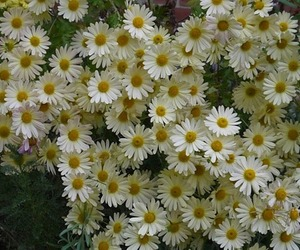 daisy, flowers, and grunge image