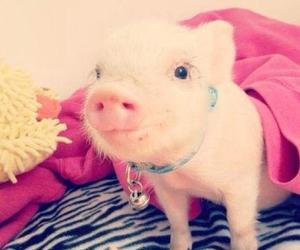 mini pig and cute image