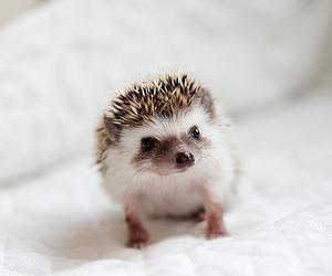 animal, cute, and hedgehog image