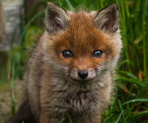 fox, animal, and baby image