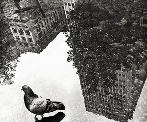 black and white, pigeon, and bird image