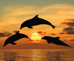 dolphins, ocean, and sunset image