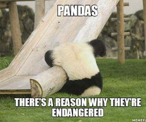 animal, funny, and panda image