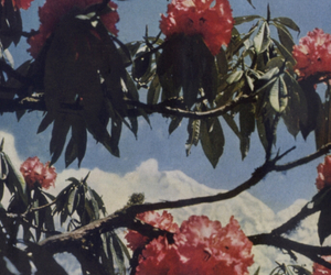 blossoms, red, and rhododendron tree image