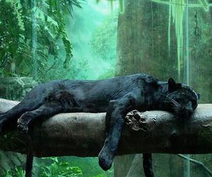 panther, animal, and black image