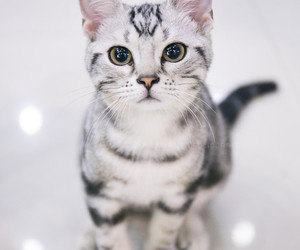 cats and american shorthair image