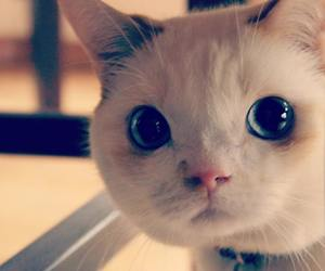 blue eyes, kitten, and cat image