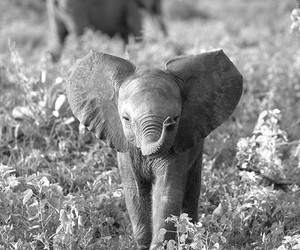 baby, black and white, and elephant image