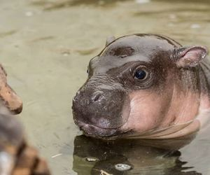 baby animals, cute animals, and hippo image