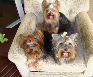 dog, dogs, and yorkshire image