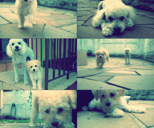 dog, poodle, and cute image