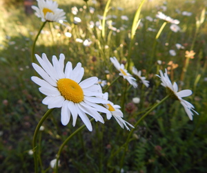 beautiful, spring, and daisy image