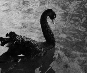 black and white and Swan image