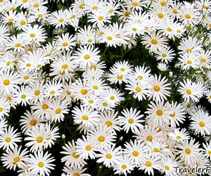 daisy and summer image