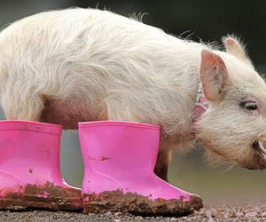 pig, pink, and boots image