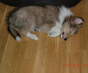 puppy, sheltie, and shetland sheepdog image