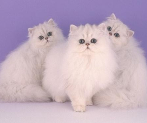 animal, cat, and paple image