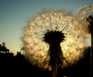 dandelion, photography, and sky image