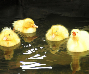 animals, bird, and ducklings image