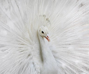 albino, animal, and pavão image