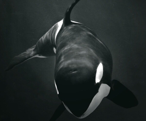 black, ocean, and orca image