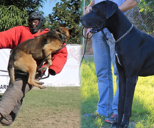 perros, pastor aleman, and gran danes image