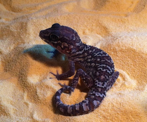gecko panthere image