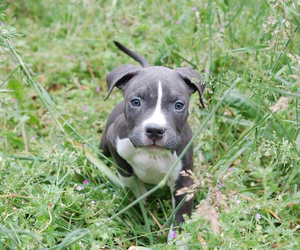 american, bully, and cute image