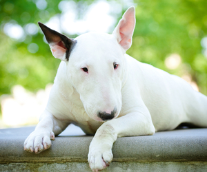 bull terrier, dog, and cute image