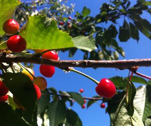 blue sky, cherry tree, and cherries image
