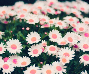 flowers, daisy, and pink image
