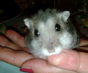 animal, hamster, and hands image
