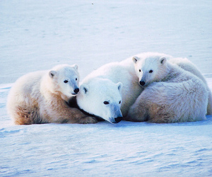 Polar Bear, cute, and animal image