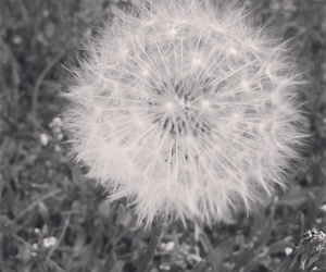 dandelion, photography, and summer image