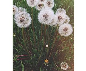 dandelions, pretty, and flowers image