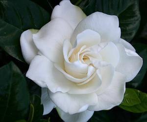 flowers, gardenia, and white image