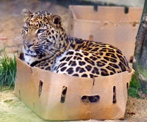 cat, leopard, and animal image