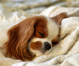 puppy and cavalier king charles spaniel image