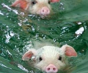 41 images about baby pigs on we heart it see more about pig