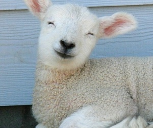 happy, sheep, and cute image