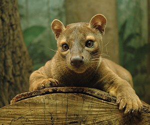 beautiful, forest, and fossa image