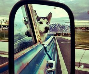 dog, husky, and car image