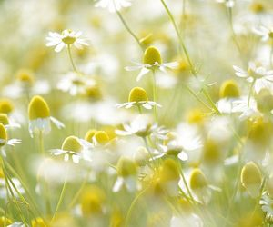 camomile, field, and flowers image