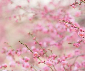 blossoms, buds, and cherry image