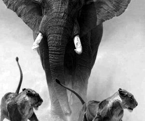 black and white, elephant, and lioness image